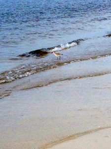 Sandpiper, Alligator Point FL