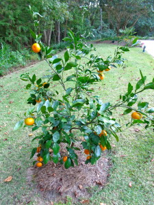 my satsuma tree -- a family tradition!